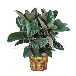pianta-ficus